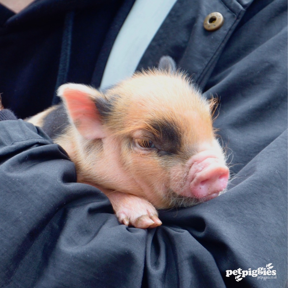 #pigzoo-woburn-forest-babies