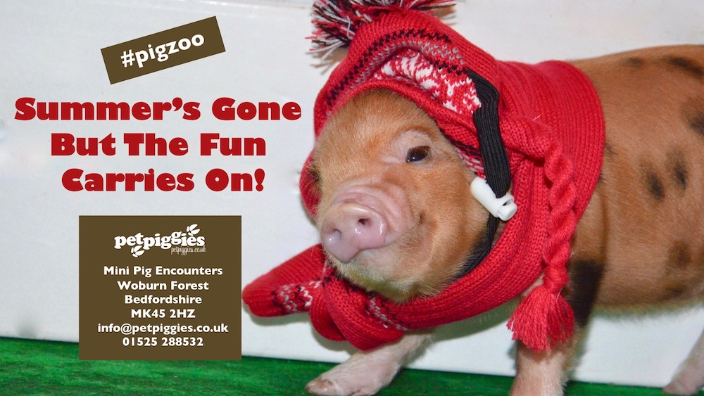 #pigzoo-woburn-forest-micro-pig-encounters.jpg
