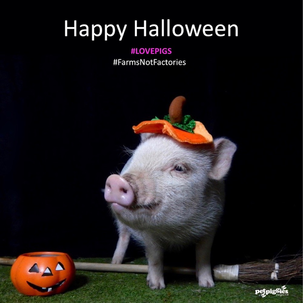 halloween micro pigs at petpiggies