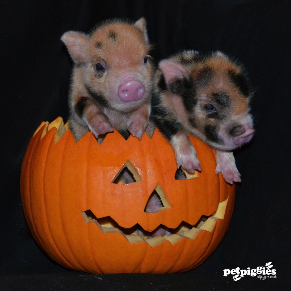 micro pigs in pumpkin