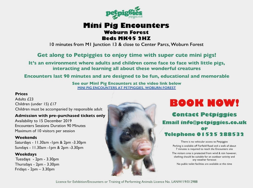 mini-pig-encounter-petpiggies-woburn-forest.