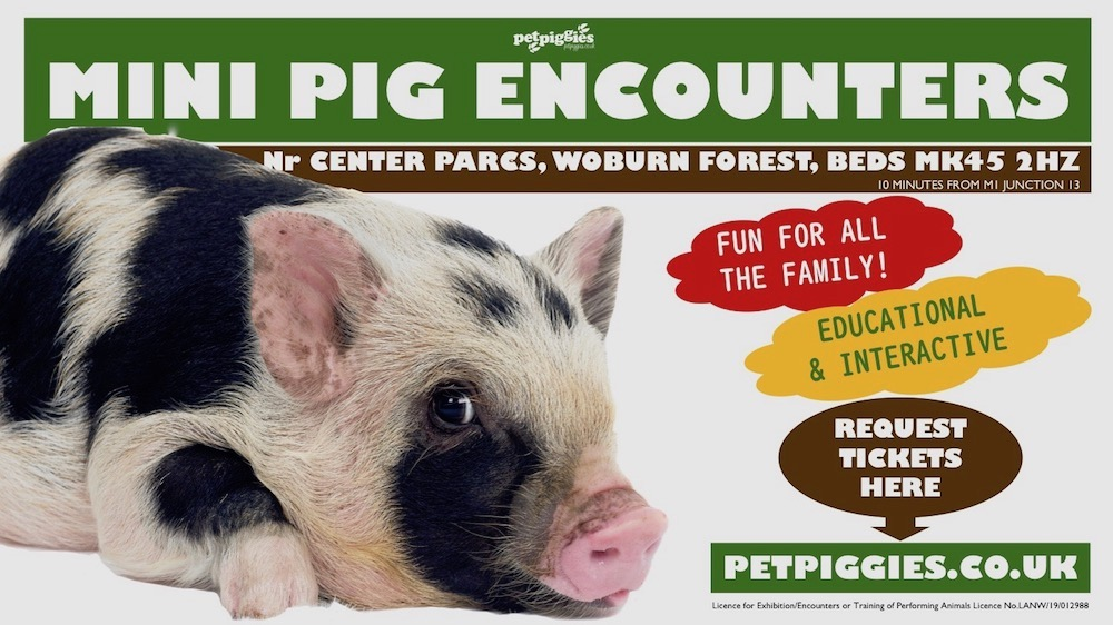 mini-pig-experience-woburn-forest-center-parcs