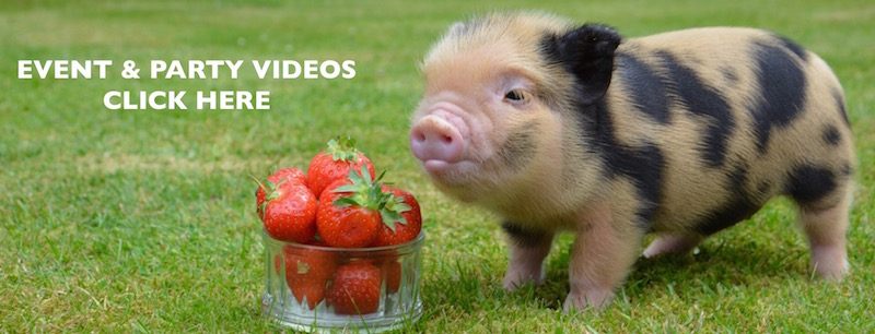 Micro pigs for events and parties