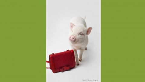 Salvatore Ferragamo Shoot featuring Petpiggies micro pigs