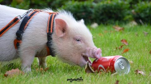 baby-micro-pig-coke-can