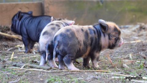 micro-pig-babies
