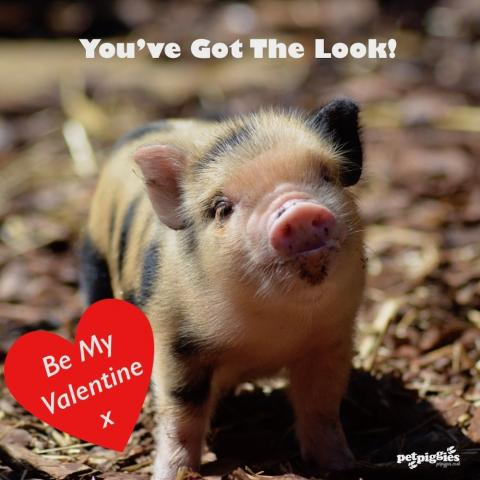micro-pig-valentines-you've-got-the-look