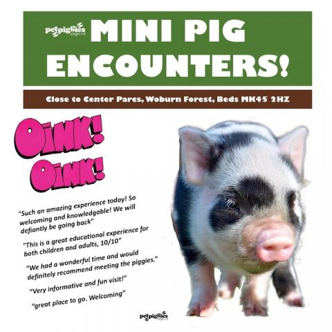 micro-pig-experience-near-center-parcs-woburn-forest.
