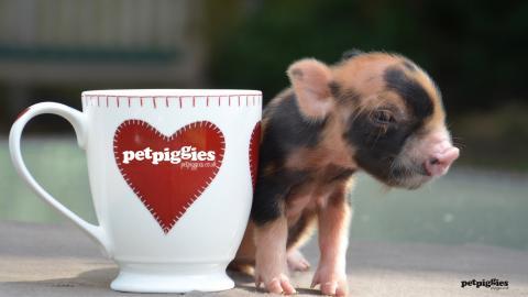 tea cup pigs