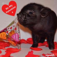 baby-micro-pig-valentines