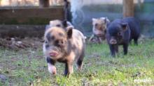 micro-pig-babies-2