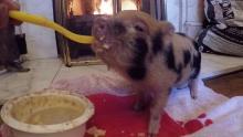 baby micro pig eating porridge