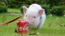 pink-baby-micro-pig-by-coke-can