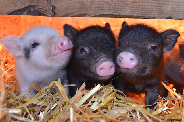 Owning A Micro Pig Pet Piggies