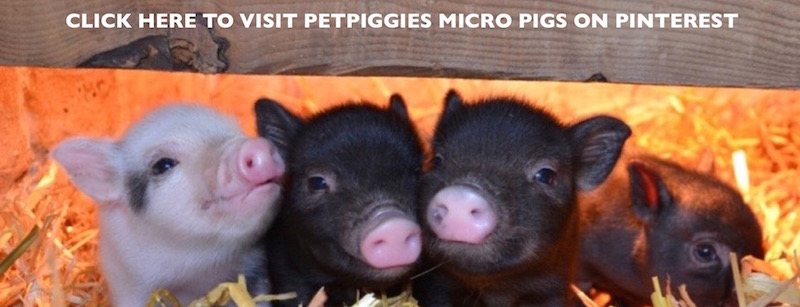 petpiggies micro pigs on pinterest